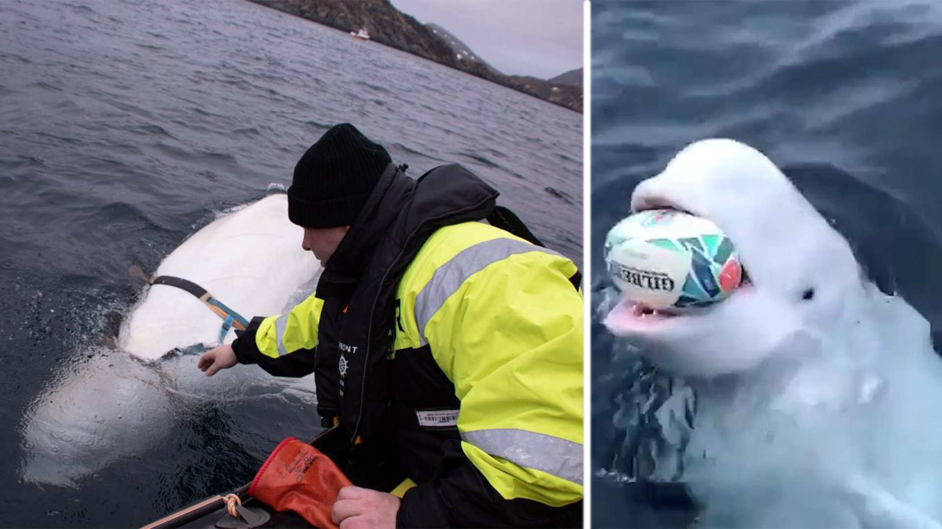 The depressing reality behind that viral rugby-playing Beluga whale